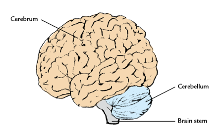 Four Main Parts of the Brain  eHow